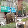 Chuyến phiêu lưu của chú voi hoang dã đi lạc vào thành phố
