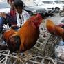 Cúm gia cầm chủng H5N6 bùng phát tại Campuchia