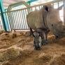 Vinpearl Safari Phú Quốc - 17 ngày đón hai cá thể tê giác quý chào đời