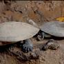 Kì lạ bướm uống nước mắt của rùa để sinh tồn