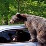 Gia đình gấu muốn… trộm xe hơi