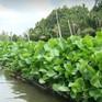 Lục bình - Loài cây dại mang lại thu nhập tốt tại ĐBSCL