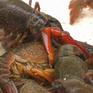 Lào Cai thu giữ hơn 900 kg tôm càng đỏ nhập lậu