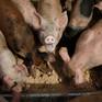Hàn Quốc giám sát chặt thức ăn thừa để ngăn dịch tả lợn châu Phi