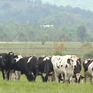 Vinamilk mở rộng nuôi bò sữa tại Lào