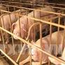 Thêm 2 tỉnh Kiên Giang và Đồng Tháp phát hiện dịch tả lợn châu Phi