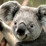 Chỉ còn dưới 80.000 cá thể gấu Koala trên khắp thế giới