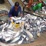 Giá cá tra giảm khiến nông dân lo lắng