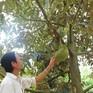 Diện tích trồng sầu riêng tăng mạnh