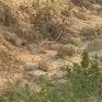Bỏ hoang hàng nghìn ha đất lúa vì hạn hán