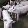 Cà Mau chủ trương giảm đàn lợn thịt