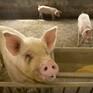 Dịch tả lợn châu Phi lan rộng tại Campuchia