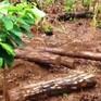 Phát hiện hàng trăm lóng gỗ thông bị chôn dưới lòng đất ở Lâm Đồng