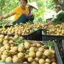 Sơn La chủ động trong tiêu thụ và xuất khẩu nhãn
