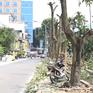 Hà Nội công bố cây thay thế hàng hoa sữa trên đường Trích Sài