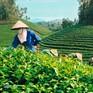 Xuất khẩu chè của Việt Nam tăng mạnh