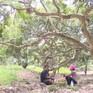 Nông dân Campuchia được mùa nhãn