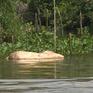 Xác lợn chết trôi lềnh bềnh trên kênh rạch ở Hậu Giang