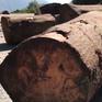 Báo động tình trạng khai thác gỗ trái phép tại rừng đặc dụng Tà Xùa