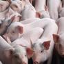 Việt Nam có thể thiếu nửa triệu tấn thịt lợn vào cuối năm