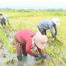 Lúa ngập úng bất thường sau khô hạn tại Nam Trung Bộ