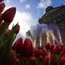 Hàng trăm nghìn bông hoa tulip khoe sắc tại Ngày hội hoa tulip Hà Lan