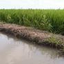 ĐBSCL tránh mặn thành công vụ lúa Đông Xuân