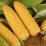 Khám phá những lợi ích cho sức khỏe từ bắp ngô