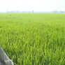 Hiệu quả, chi phí thấp với hàng rào ngăn chuột ở An Giang
