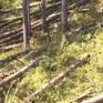 Hàng loạt rừng thông phòng hộ bị đốn hạ tại Lâm Đồng