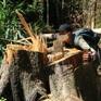 Lâm Đồng: Điều tra vụ phá rừng bạch tùng cổ thụ ở Đạ Đờn