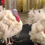 """Hai chú gà tây được """"ân xá"""" trong Lễ tạ ơn ở Mỹ"""