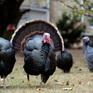 Dịch cúm gia cầm bùng phát tại trang trại ở Anh, hàng nghìn con gà tây bị tiêu hủy