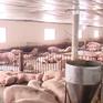 Nhiều doanh nghiệp giảm giá lợn hơi xuống 75.000 đồng/kg