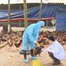 Áp dụng nhiều giải pháp phòng chống dịch cúm gia cầm