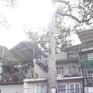 Nhiều cây cổ thụ ở TP.HCM bị xâm hại