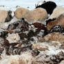 Giá lạnh bất thường đe dọa ngành chăn nuôi Mông Cổ