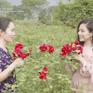 Lạc bước vào vườn hoa hồng hơn 1ha ở Hà Nội
