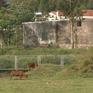 Phá hàng rào cao tốc Đà Nẵng - Quảng Ngãi để chăn thả gia súc