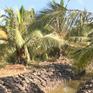 Nông dân Bến Tre chuyển đổi cây trồng, tạo nên giá trị mới trên vùng đất nhiễm mặn