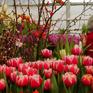 Chiêm ngưỡng hàng nghìn cây hoa tulip nở sớm ở Nga