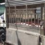 Tiêu hủy 1,4 tấn lợn thịt không rõ nguồn gốc tại An Giang