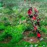 Đẹp ngất ngây mùa hoa mận nở ở Nà Ka, Mộc Châu