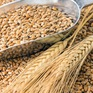 Nga thận trọng trong việc xuất khẩu lúa mỳ