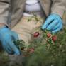 Châu Âu thiếu nhân công trầm trọng trong mùa thu hoạch