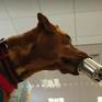 Huấn luyện chó để đánh hơi mùi COVID-19