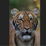 Hổ ở sở thú New York dương tính với virus SARS-CoV-2