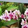 Hoa lan trồng tại Pháp có gì đặc biệt?