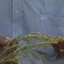 Sử dụng giống lúa Thiên Đàng chưa được phép lưu hành, người dân hoang mang