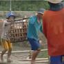 Giá cá tra giảm sâu do ảnh hưởng từ dịch COVID-19, nông dân bị lỗ nặng